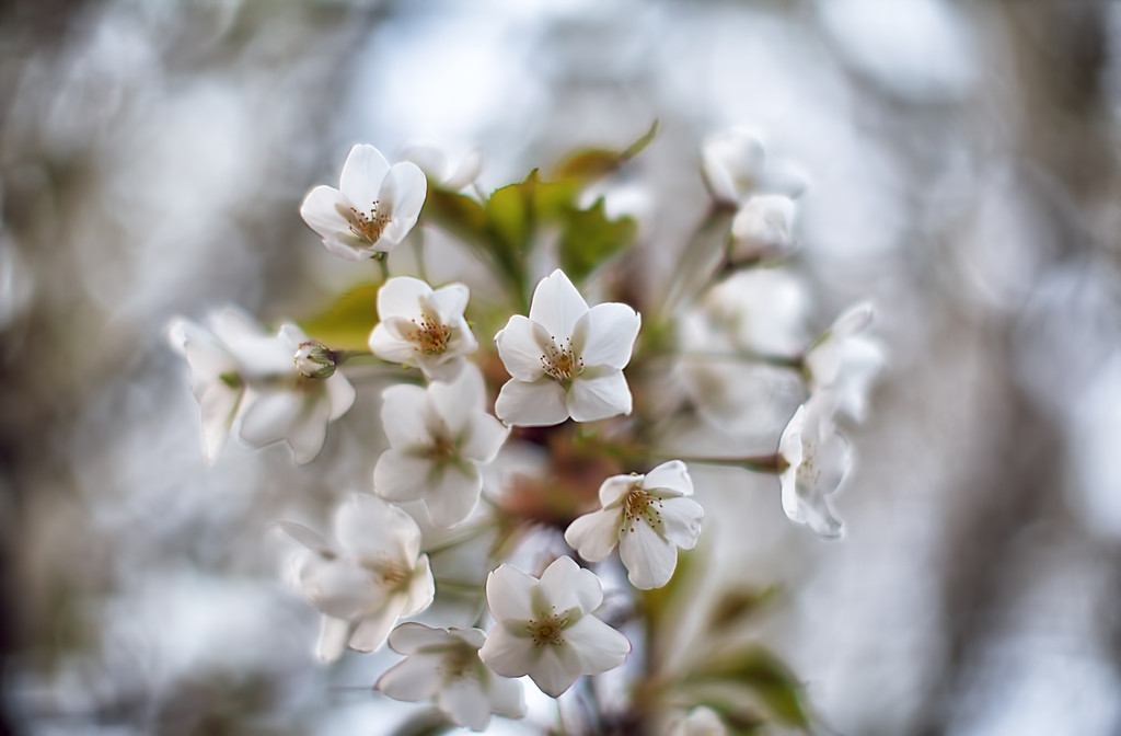 Blossoming in bokeh